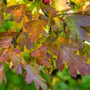 Hawthorn - Full autumn tinting