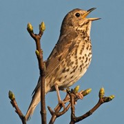 Song thrush - Recorded all winter