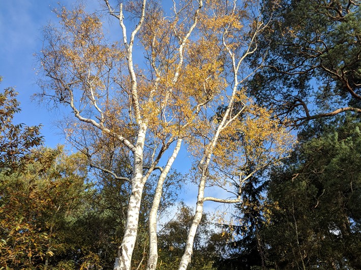 Silver birch with full autumn tint