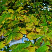 Horse chestnut - First autumn tinting
