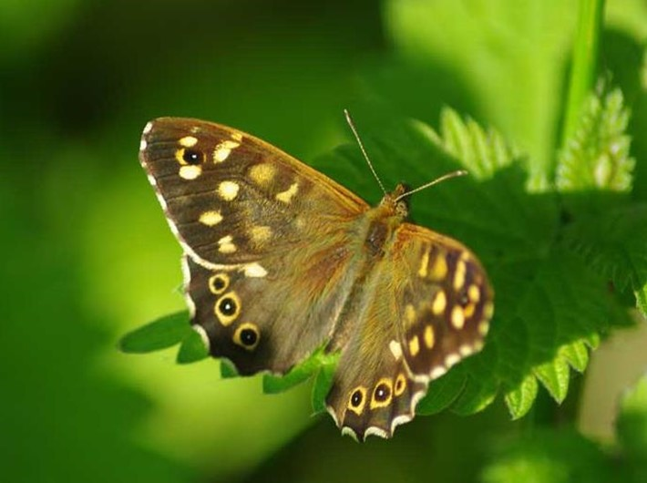 How to identify butterflies: a quick guide - Nature's Calendar