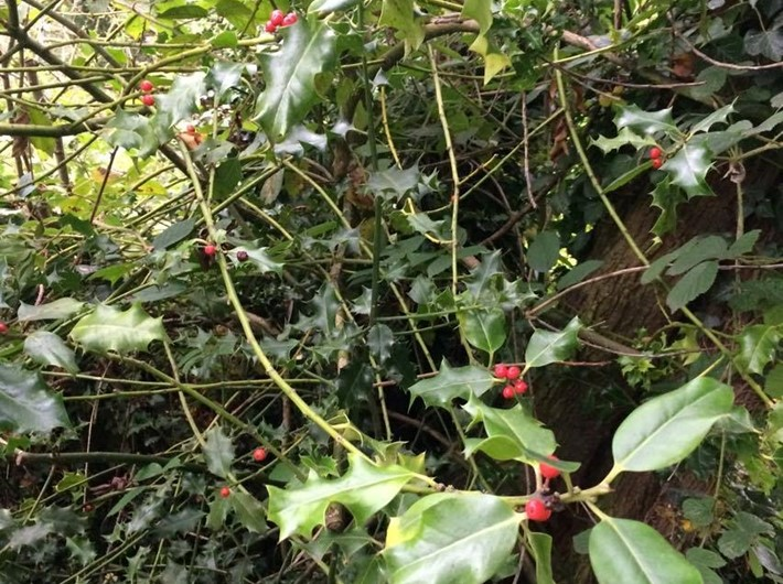 Holly with ripe fruit