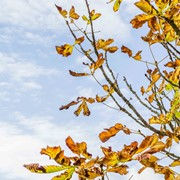 Horse chestnut - First leaves falling