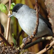 Blackcap - Recorded all winter