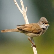 Whitethroat - First recorded