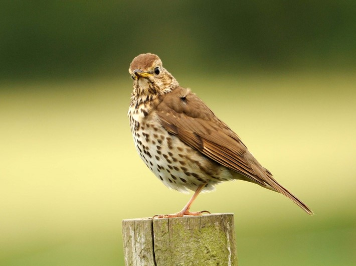 song thrush, amy lewis