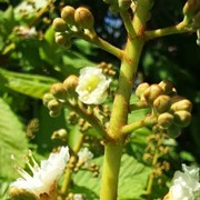 Horse chestnut - First flowering