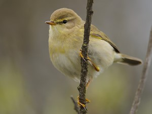 Not to be confused with - Willow warbler