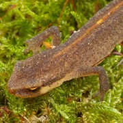 Newts - First recorded