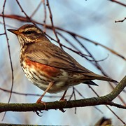 Redwing - First recorded