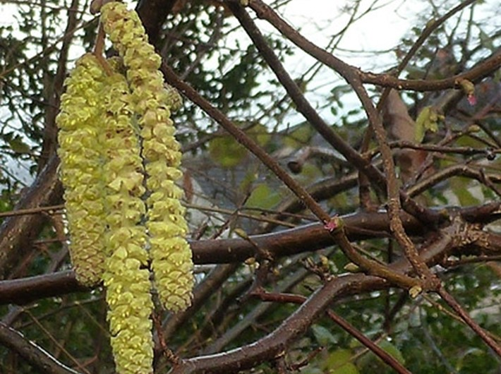 Flowering hazel catkins