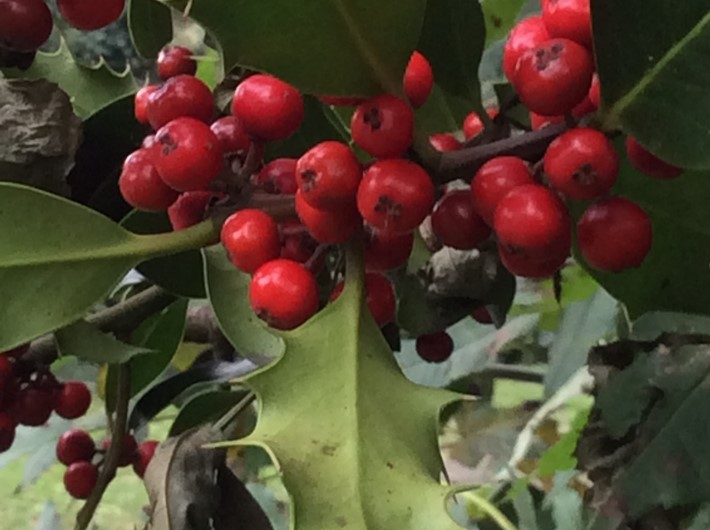 Holly with lots of fruit