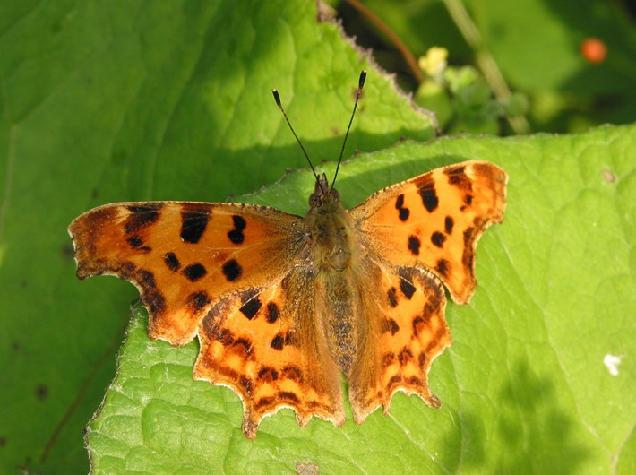 How to identify butterflies: a quick guide - Nature's Calendar - photo#49
