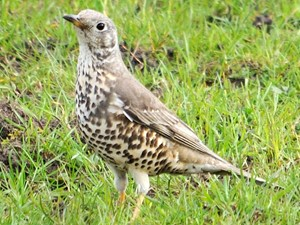 Not to be confused with - Mistle thrush