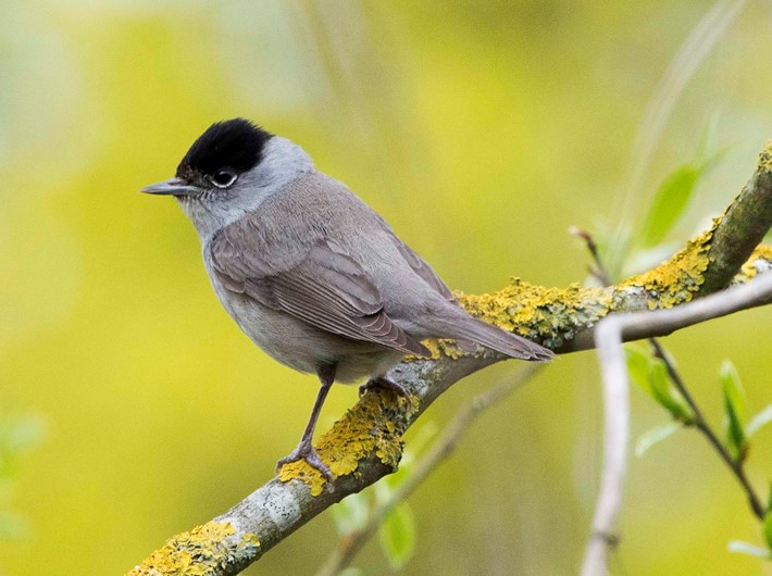 male blackcap, Dave Foker