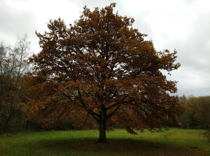 Oak pedunculate full autumn tint