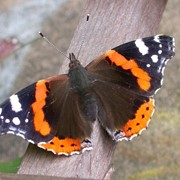 Red admiral - First recorded